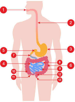 A medical illustration of the GI tract